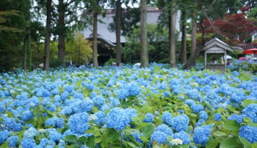 北浦雲昌寺のあじさいは想像以上の蒼さで壮観です(秋田県男鹿市)