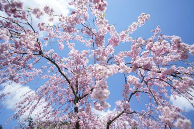 弘前さくらまつり2019枝垂れ桜上から見るか下から見るか