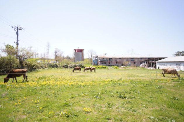 アビタニアジャージーファームの牛さん達