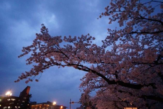 弘前さくらまつり2019外堀の桜満開