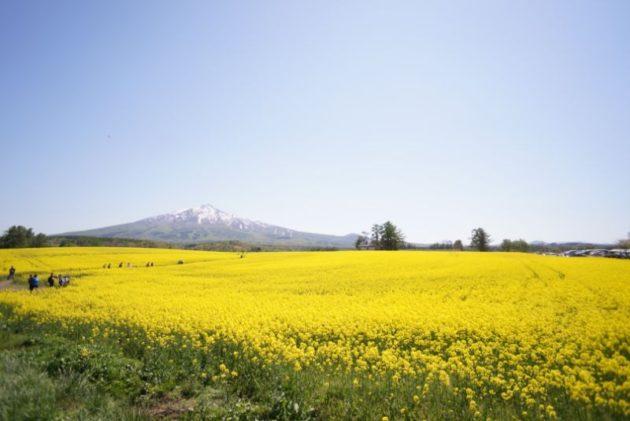 鰺ヶ沢の菜の花畑全体像