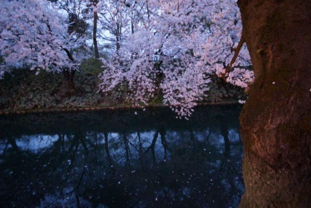 弘前さくらまつり2019外堀の桜