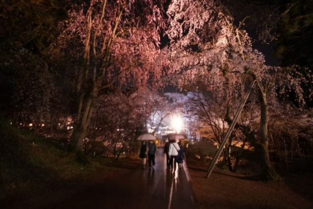 弘前さくらまつり2019雨の枝垂れ桜