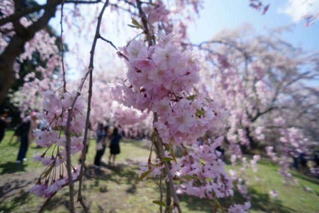 弘前さくらまつり2019枝垂れ桜アップ