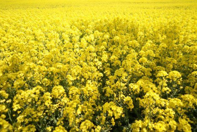 鰺ヶ沢の菜の花畑の黄色い絨毯