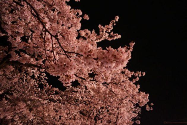 弘前さくらまつり2019よると桜