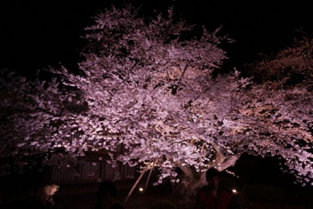 弘前さくらまつり2019の園内最長寿のソメイヨシノ