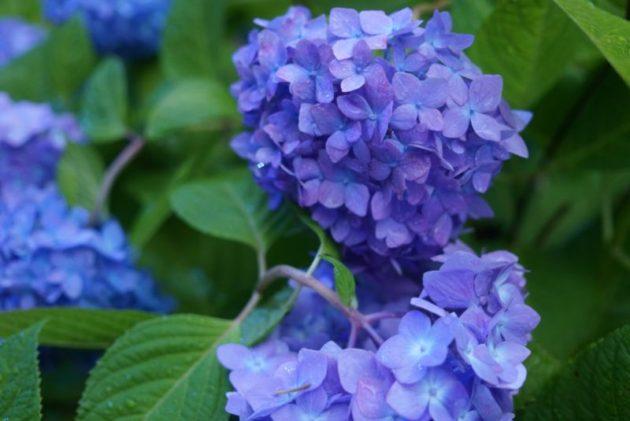 北浦雲昌寺の紫のあじさい