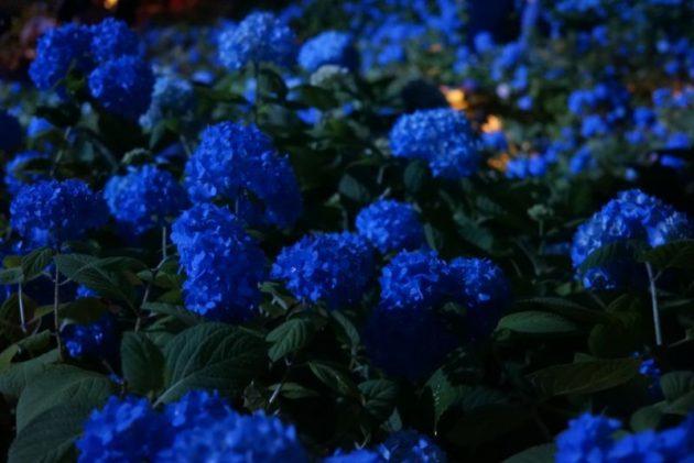 北浦雲昌寺のライトアップあじさいアップ