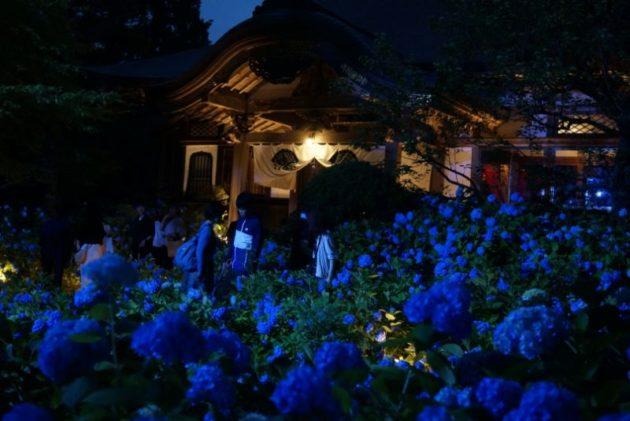 北浦雲昌寺のライトアップあじさいと本堂
