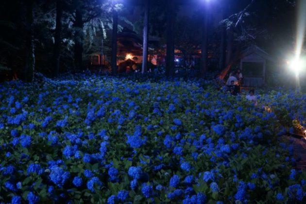 北浦雲昌寺のライトアップあじさい2