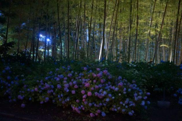 北浦雲昌寺の竹林とあじさい
