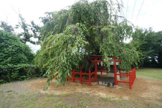 弘前天満宮の枝垂れ桜